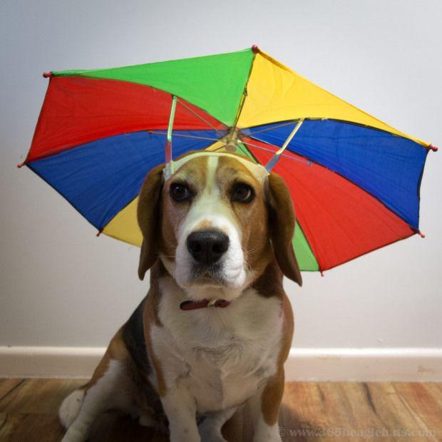55/365 - Umbrella Hat | Beagle, Puppies, Anima